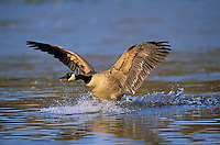 Canada Goose lifting off. North America. (Branta canadensis).