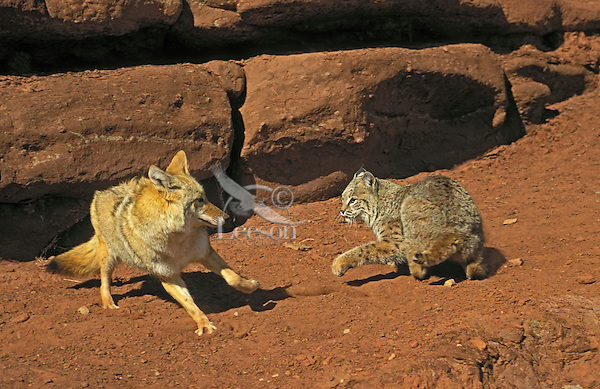 Coyote & Bobcat encounter..Near Canyonlands National Park, Utah..Contolled situation with captive animals.