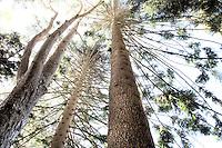 Norfolk Island Pine Araucaria heterophylla, tall tree looking up, Lotusland garden, Santa Barbara California