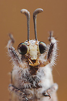 Ant Lion, Myrmeleontidae, adult close up, Willacy County, Rio Grande Valley, Texas, USA