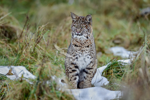 Wild Bobcat (Lynx rufus).  Olympic National Park, WA.  November (patches of several day old--mostly melted snow).  Completely wild, non-captive cat.