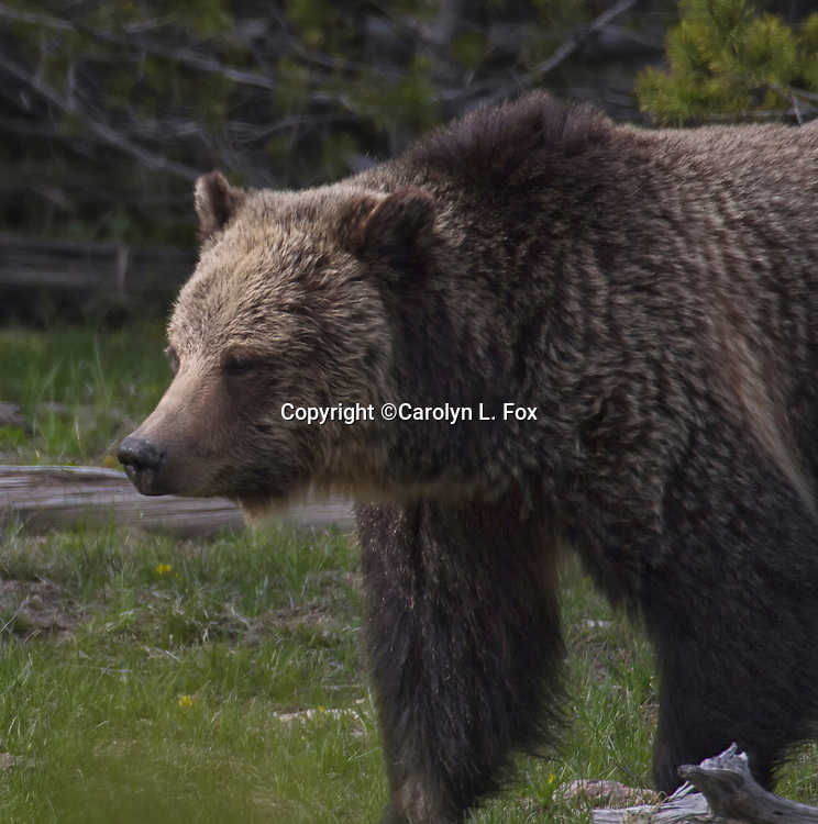 A grizzly bear walks in the woods.