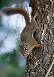 Red squirrel scrambles down a tree trunk, Yellowstone National Park, Wyoming, USA