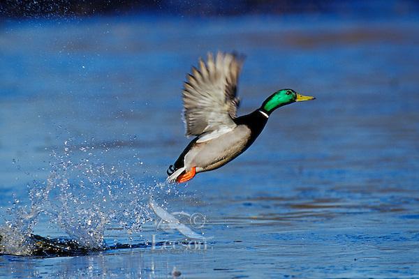 Mallard Duck drake (Anas platyrhynchos) jumping (taking flight).