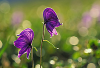 Monkshood wildflower, a poisonous plant, is backlit by late summer sun, Denali National Park, Alaska