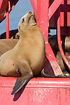San Diego Bay, San Diego, California; a California Sea Lion (Zalophus californianus) hauls out of the water to warm itself in the sun on a red channel marker buoy