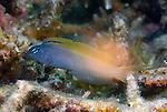 Bicolor Fangblenny, Plagiotremus laudandus, Anilao