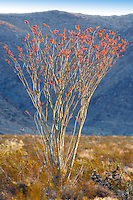 Ocotillo bush in bloom. Joshua Tree National Park. California