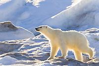 polar bear, Ursus maritimus, foraging on multi-year ice floes, Edgeoya or Edge Island, Svalbard, Norway, Barents Sea, Arctic Ocean