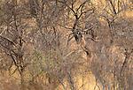 Greater kudu, Matetsi Preserve, Zimbabwe