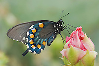 Pipevine Swallowtail, Battus philenor, adult on Texas Prickly Pear Cactus (Opuntia lindheimeri), Uvalde County, Hill Country, Texas, USA