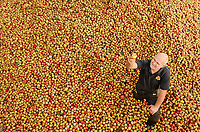 BNPS.co.uk (01202 558833)<br /> Pic: ZacharyCulpin/BNPS<br /> <br /> Cider season...<br /> <br /> Cider maker, Douglas Hussey sorts through 14 tonnes of apples before they are pressed to make cider at the Purbeck Cider Company in Kingston, Dorset. These 14 tonnes of apples will go on to make around 18,000 bottles of cider. Purbeck cider use up to 20 different varieties of apples from all over Dorset and produce 500,000 bottles a year.