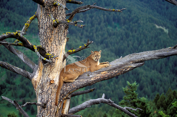COUGAR/MOUNTAIN LION/PUMA in tree..Summer. Rocky Mountains..(Felis concolor).