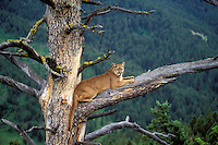 COUGAR/MOUNTAIN LION/PUMA in tree..Summer. Rocky Mountains..(Felis concolor).