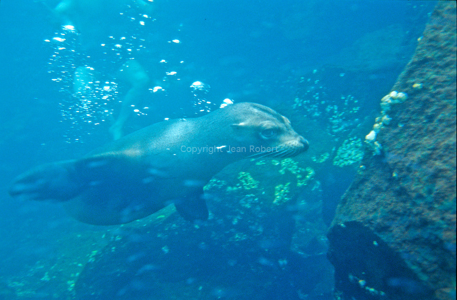 Otaries sous l eau.<br /> Galapagos sea lion  in the water. The archipelago population is estimated to be around 50 000