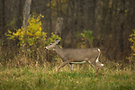 White-tailed doe walking in the rain.