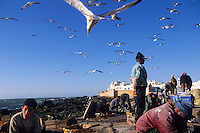 Afrique/Afrique du Nord/Maghreb/Maroc/Essaouira : Les pêcheurs trient leur pêche parmi les mouettes, en fond la cité