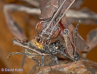 "0407-07oo  Ghost Mantis - Phyllocrania paradoxa ""Adult Male"" - © David Kuhn/Dwight Kuhn Photography"