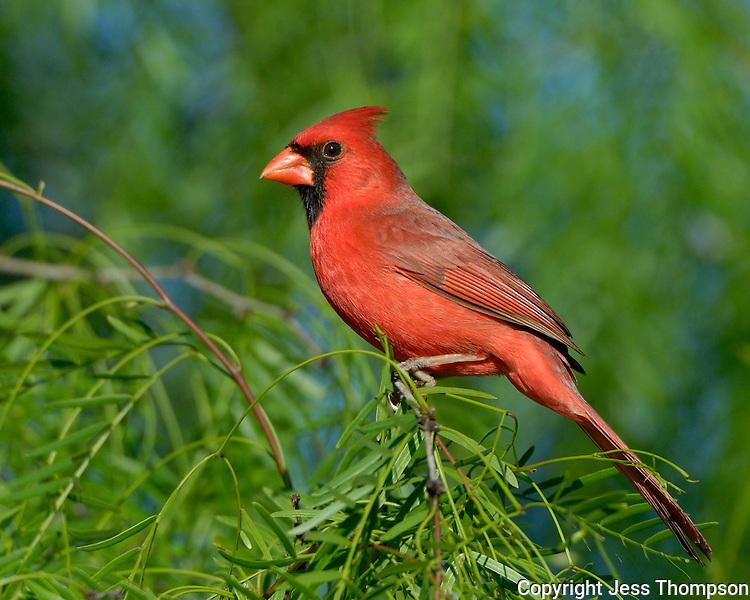Northern Cardinal, El Tecalote Ranch, Texas