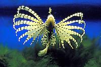 Peixe-escorpião (Scorpaena) . Foto de Manuel Lourenço.