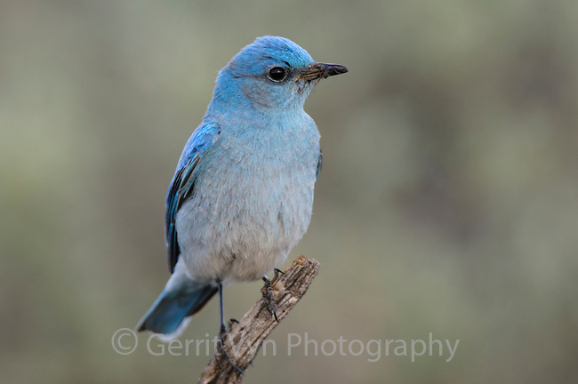 Adult male Mountain Bluebird (Sialia currucoides) with spider prey. Douglas County, Washington. April.