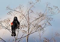 A male Red-winged Blackbird calls out in front of Mt. Shasta.