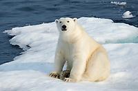 polar bear, Ursus maritimus, male, on iceberg, Baffin Island, Nunavut, Canada, Arctic Ocean