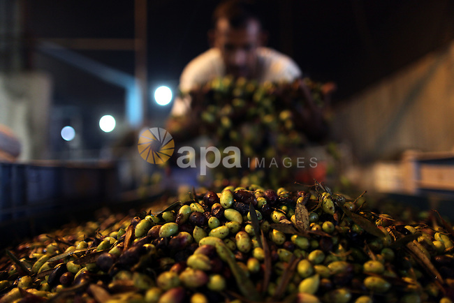 A Palestinian man checks local olives ready for pressing into oil at a press in Gaza City, in the Gaza Strip on November 12, 2011. photo by Wissam Nassar