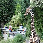 DEU, Deutschland, NRW, Nordrhein Westfalen, Rheinland, Ruhrgebiet, Niederrhein, Duisburg, Zoo, Giraffe, Giraffa camelopardalis reticulata, Besucher, Zoobesucher......[Fuer die Nutzung gelten die jeweils gueltigen Allgemeinen Liefer-und Geschaeftsbedingungen. Nutzung nur gegen Verwendungsmeldung und Nachweis. Download der AGB unter http://www.image-box.com oder werden auf Anfrage zugesendet. Freigabe ist vorher erforderlich. Jede Nutzung des Fotos ist honorarpflichtig gemaess derzeit gueltiger MFM Liste - Kontakt, Uwe Schmid-Fotografie, Duisburg, Tel. (+49).2065.677997, ..archiv@image-box.com, www.image-box.com]