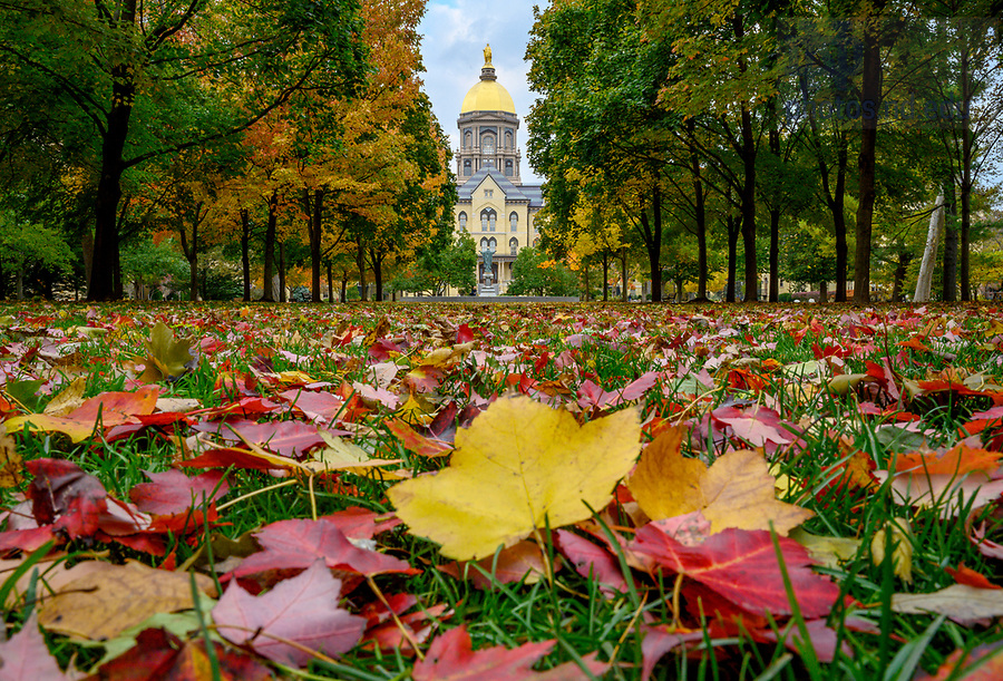 October 28, 2019; Fallen leaves decorate the lawn of the Main Quad with the Golden Dome in the background. (Photo by Barbara Johnston/University of Notre Dame)