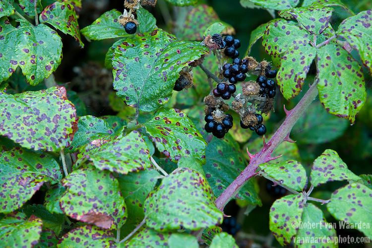 Blackberries ready for picking near Kent, the United Kingdom.