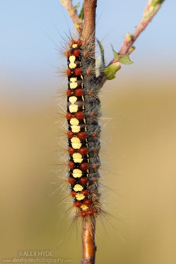 White Satin Moth (Leucoma salicis) caterpillar on foodplant (Salix sp.). Ainsdale Nature Reserve, Merseyside, UK. May. Photographer: Alex Hyde