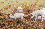 WEATHER INPUT - Pannage in the New ForestPictured: Piglets grazing in the New Forest as part of the yearly pannage tradition The pannage season which started last week takes place in early autumn and lasts for 60 days. It is where domesticated pigs are released in to the forest, so that they can eat fallen acorns, beechmast, chestnuts and the like, as these posinous to the New Forest Ponies and cattle.New Forest is one of the few places in the UK where pannage is still practised, with only 600 pigs and piglets being released each year.  The pigs have nose rings to stop them from digging and damaging the forest floor.<br /> <br /> Please byline: Yvonne Holloway/Solent News<br /> <br /> © Yvonne Holloway/Solent News & Photo Agency<br /> UK +44 (0) 2380 458800