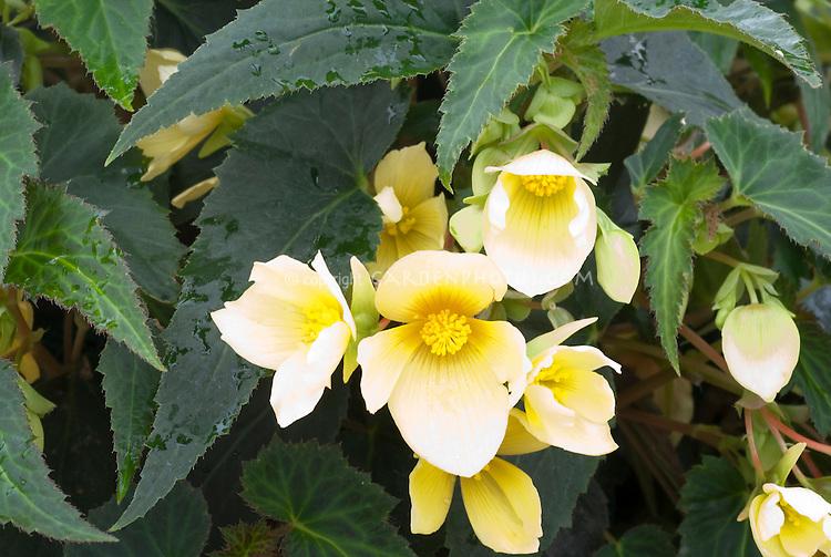 Begonia (Million Kisses) 'Honeymoon'