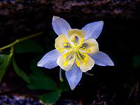 Wildflower called Columbine grows in the forests of Yellowstone National Park, Wyoming