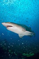 sand tiger shark, gray nurse shark, Carcharias taurus, on the wreck of The Spar, Morehead City, North Carolina, USA, Atlantic Ocean