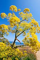 Nordzypern, Fenchel-Blüte bei Girne