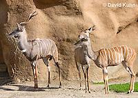 0529-1107  Lesser Kudu, Tragelaphus imberbis  © David Kuhn/Dwight Kuhn Photography