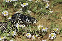 Desert Kingsnake (Lampropeltis getula splendida), adult among flowers, Starr County, Rio Grande Valley, Texas, USA