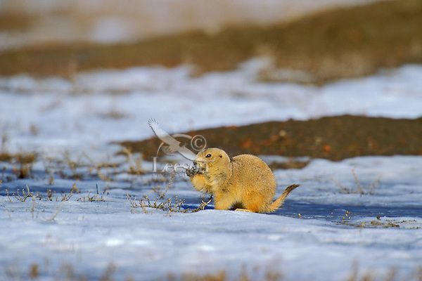 Black-tailed Prairie Dog (Cynomys ludovicianus) chews on a winter dried plant in March on the Northern Plains.