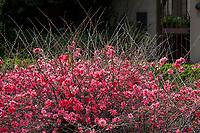 Chaenomeles superba 'Pink Lady' Japanese Quince, winter flowering drought tolerant deciduous shrub, Blake Garden