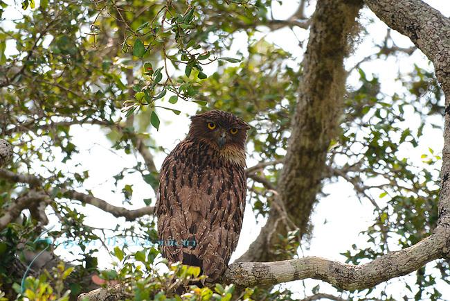 Owl , Yala National Park wildlife, Sri Lanka