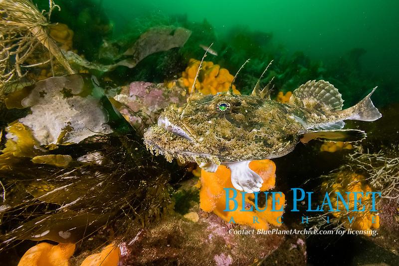 anglerfish (monkfish) Lophius piscatorius, Stromsholmen, Vevang, Norway, Atlantic Ocean