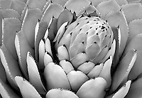 Aloe plant close up. Big Sur coast, California