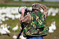 Man photographing Snow Geese in field, Fir Island, Skagit Valley, Skagit County, Washington, USA
