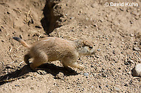 0601-1015  Young Black-tailed Prairie Dog Pup, Cynomys ludovicianus  © David Kuhn/Dwight Kuhn Photography