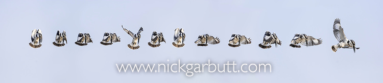 Adult pied kingfisher (Ceryle rudis) hovering. Satpura National Park, India. Sequence of 12 images. Digital composite.