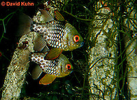 0121-08mm  Pair of Pajama Cardinal Fish - Polka Dot Cardinal Fish - Sphaeramia nematoptera © David Kuhn/Dwight Kuhn Photography