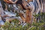 Bristlecone pine, Ancient Bristlecone Pine Forest, White Mountains, California