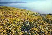 Native wildflower mix for California coastal bluffs including Layia, Nemophila, Lupine and Orthocarpus